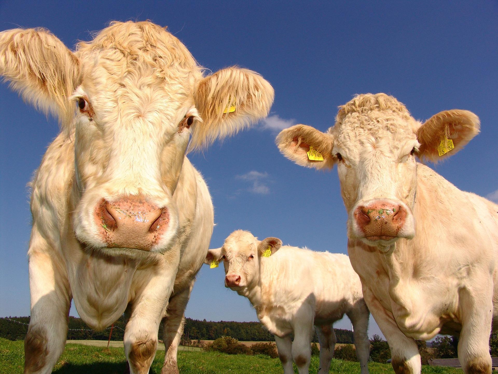 skup bydła krowy byki jałówki cielaki